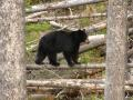Northwest Montana Black Bear and Wildlife Photo