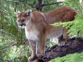 Northwest Montana Mountain Lion Photo
