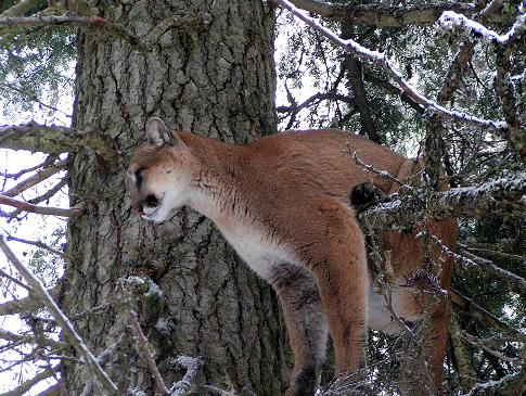 Montana Backcountry Outfitters Mountain Lion Photo